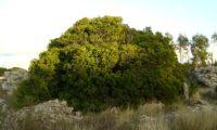 hábito adulto e isolado de aroeira - Pistacia lenticus