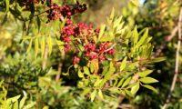 cachos de frutos imaturos de aroeira - Pistacia lenticus