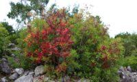 arbusto de aroeira, com vários troncos vestidos de hábito outonal - Pistacia lenticus