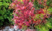 ramo com frutos imaturos e folhas vermelhas outonais de aroeira - Pistacia lenticus