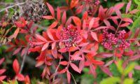 bagas imaturas e ramalhete de folhas outonais de aroeira - Pistacia lenticus