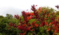 cores outonais de aroeira - Pistacia lenticus