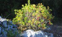 hábito de pé isolado de aroeira em frutificação - Pistacia lenticus