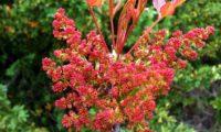 inflorescências masculinas, repare também nas folhas recém-desabrochadas, algo avermelhadas de cornalheira - Pistacia terebinthus