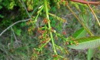flores femininas de cornalheira ou terebinto - Pistacia terebinthus