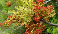 espigas de flores masculinas de terebinto, sendo as inflorescências terminais estéreis - Pistacia terebinthus