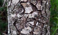 ritidoma fendilhado em placas de cornalheira, terebinto - Pistacia terebinthus