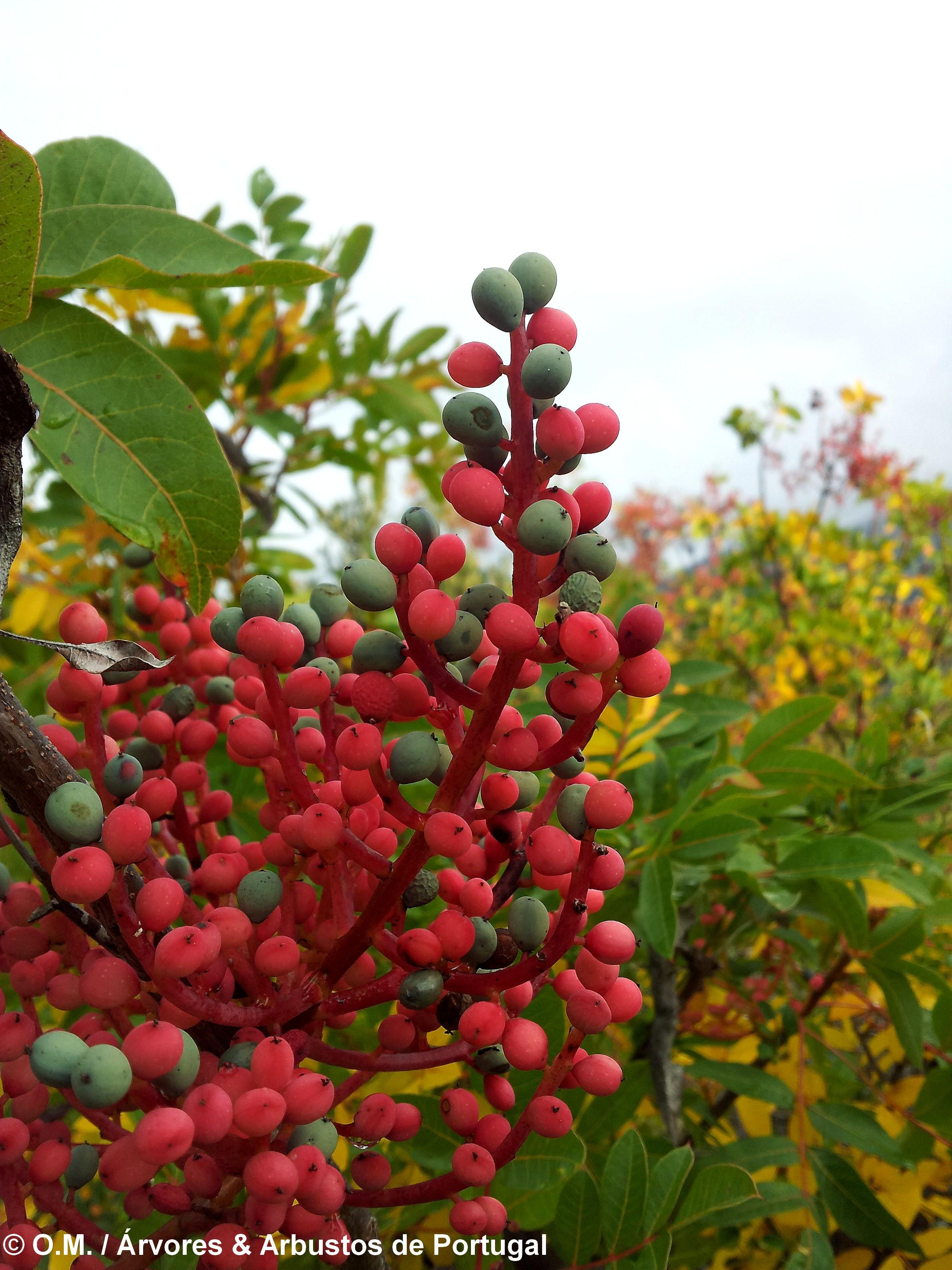 frutos de cornalheira - Pistacia terebinthus