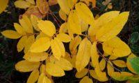 folhas de cornalheira ou terebinto no Outono - Pistacia terebinthus