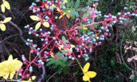 frutos parcialmente maduros de cornalheira, terebinto - Pistacia terebinthus