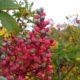 frutos de terebinto, cornalheira - Pistacia terebinthus