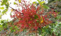 frutos imaturos (cor coralina) de terebinto - Pistacia terebinthus