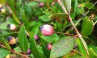 Fruto de murta, longamente pedunculado - Myrtus communis