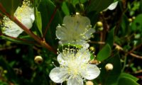 grupo de flores de murta, murteira, mirta, mirto, murtinho, murtinheira, martunheira, gorreiro, mata-pulgas, murta-das-noivas, flor-do-noivado, murta-do-jardim, murta-cheirosa, murta-ordinária, murta-comum, murtinheira, com anteras amarelas bem visíveis - Myrtus communis