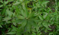 efeito da disposição das folhas de murta, murteira, murtinho, murtinheira, martunheira, mata-pulgas, murta-das-noivas, flor-do-noivado, murta-do-jardim, murta-cheirosa, murta-ordinária, murta-comum - Myrtus communis