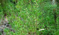 hábito arbustivo de murteira, mirta, mirto, murtinho, murtinheira, martunheira, gorreiro, mata-pulgas, murta-das-noivas, flor-do-noivado, murta-do-jardim, murta-cheirosa, murta-ordinária, murta-comum - Myrtus communis
