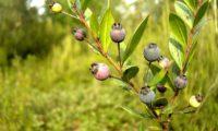 Frutos maduros de murta, cobertos de pruína - Myrtus communis