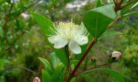 Flor de murta, murteira, murta-das-noivas, flor-do-noivado, murta-do-jardim, murta-cheirosa, murta-ordinária, murta-comum, com estigma truncado - Myrtus communis