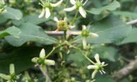 inflorescência de evónimo, fuseira, barrete-de-padre - Euonymus europaeus