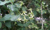inflorescências de evónimo, fuseira, barrete-de-padre - Euonymus europaeus