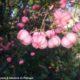 frutos cor-de-rosa de evónimo - Euonymus europaeus