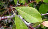 páginas superiores oblogo-lanceoladas do abrunheiro-bravo – Prunus spinosa