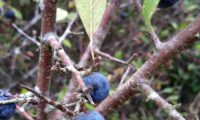 abrunhos maduros, aspecto da página inferior e do ritidoma dos ramos do abrunheiro-bravo – Prunus spinosa