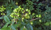 cachos de bagas verdes, alfeneiro, alfenheiro, ligustro - Ligustrum vulgare