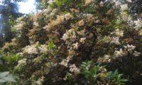 hábito de alfeneiro, alfenheiro, ligustro, em flor - Ligustrum vulgare