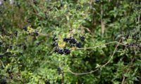 vista parcial de cachos de bagas maduras, negras e brilhantes de alfeneiro, alfenheiro, ligustro - Ligustrum vulgare
