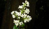 panícula de flores num sub-bosque de alfeneiro, alfenheiro, ligustro - Ligustrum vulgare