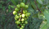 bagas verdes, alfeneiro, alfenheiro, alfena, ligustro - Ligustrum vulgare