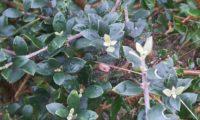 folhas e pecíolos pequenos, limbos ovados e obtusos de zambujeiro - Olea europaea. subsp. oleaster var. silvestris