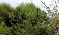 hábito de zambujeiro em 2016, depois de ser protegido do gado - Olea europaea subsp. oleaster var. silvestris