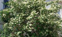porte arbóreo de alfeneiro, alfenheiro, ligustro em flor - Ligustrum vulgare
