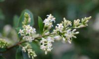 inflorescência de alfeneiro, alfenheiro, ligustro - Ligustrum vulgare