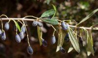 zambujinhos - Olea europaea subsp. oleaster var