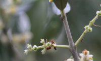 formação dos frutos de oliveira, depois da queda das flores - Olea europaea subsp. europaea var. europaea