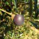 azeitona madura com coloração ebúrnea - Olea europaea subsp. europaea var. europaea