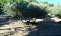 hábito de oliveira com quatro troncos, num olival - Olea europaea subsp. europaea var. europaea
