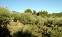 aspecto de um olival amanhado - Olea europaea subsp. europaea var. europaea