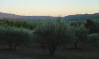 formas e cores das oliveiras num olival durante o crepúsculo - Olea europaea subsp. europaea var. europaea