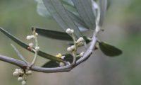 lâminas inferiores e inflorescências em botão de oliveira - Olea europaea subsp. europaea var. europaea