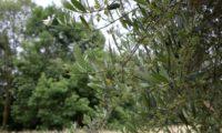 aspecto parcial de uma oliveira coberta de panículas em botão - Olea europaea subsp. europaea var. europaea