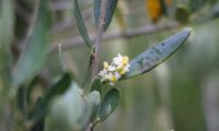 inflorescência axilar de oliveira - Olea europaea subsp. europaea var. europaea
