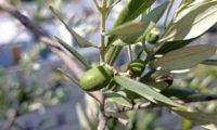 azeitona imatura, oliveira - Olea europaea subsp. europaea var. europaea