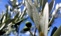 azeitonas imaturas, oliveira - Olea europaea subsp. europaea var. europaea
