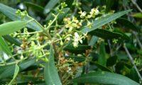 flores de oliveira-brava - Olea maderensis