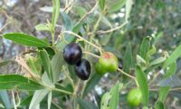 frutos de oliveira-brava - Olea maderensis
