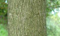 ritidoma cinzento com rugosidadede, oliveira-brava - Olea maderensis